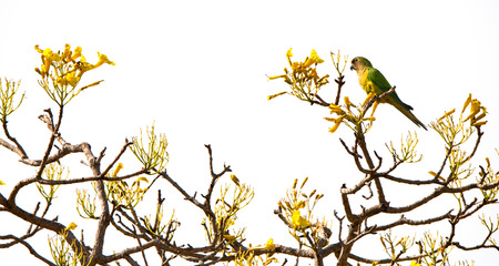 bloomy: peach-fronted parakeet sitting on the top of a yellow trumpet tree - Brazil - Pantanal