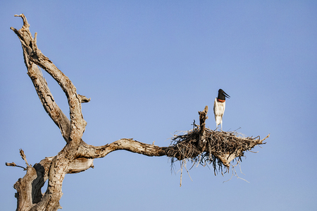 Jabiru stork in a nest on the top of a dead standing tree Stock Photo