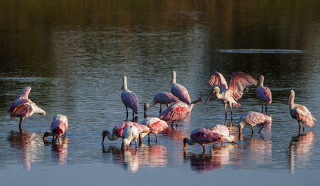 roseate spoonbills drinking in the Rio Negro in Brazil - Pantanal Stock Photo