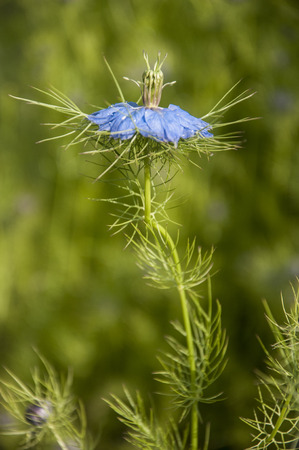 closeup of an exotic blue flower - Nigella damascena