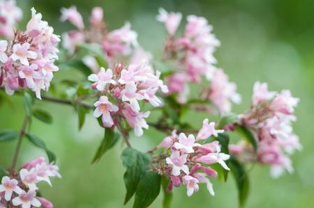 beautybush closeup - Kolkwitzia amabilis