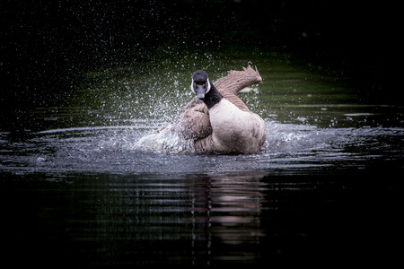Cananda goose bathing in a lake