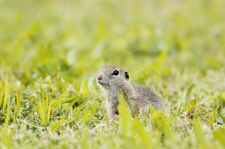 european ground squirrel sitting in the grass