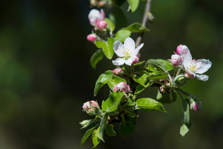 twig of a flowering apple tree Stock Photo