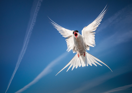 arctic tern flying in the sky - looking like an angel Stock Photo