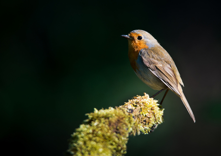erithacus rubecula: robin redbreast sitting on a mossy stem illuminated by the sun