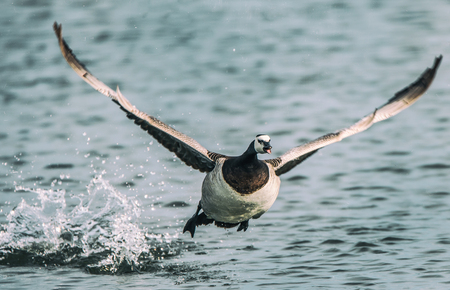 wingspan: barnacle goose flying over the lake