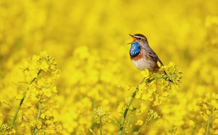Bluethroat cantando en un campo de violación Foto de archivo - 74167890