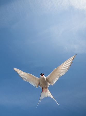 wingspan: arctic tern flying in the sky Stock Photo