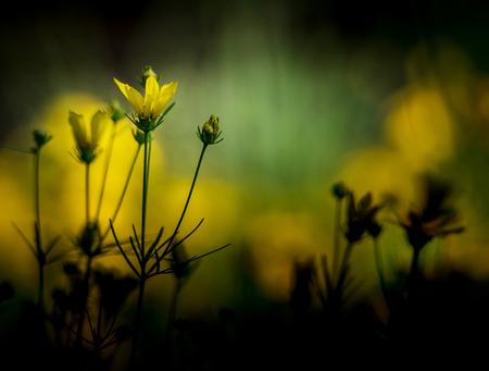 yellow tickseed with dark vignette Stock Photo