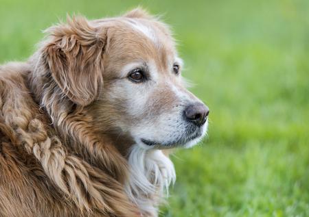 side face portrait of a golden retriever dog