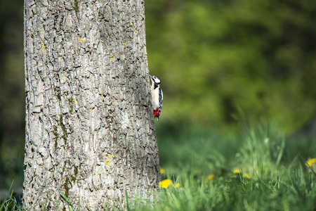 great spotted woodpecker climbing up a walnut tree