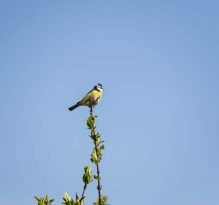 blue tit sitting on the top of a branch