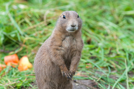 black tailed prairie dog - sit up and beg Stock Photo