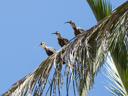 sit down: buff necked ibis sitting on a palm tree - Pantanal in Brazil South America Foto de archivo