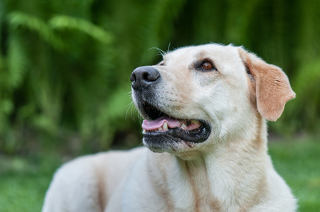 portrait of a golden retriver on a blurry green background Stock Photo