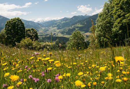 flowering meadow in the Tyrolean alps in Austria