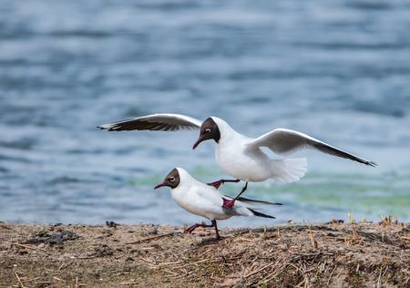 copulate: mating black-headed gulls