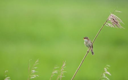 sedge warbler sitting on a blade of grass and chirping