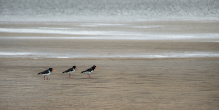 three oystercatchers walking in a row on the sandy beach - Germany Stock Photo