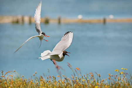 black-headed gull attacking a common tern at the waterside in Texel - Netherlands