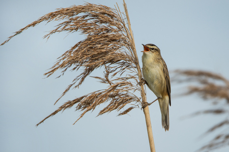sedge warbler sitting in the reed and chirping Stock Photo