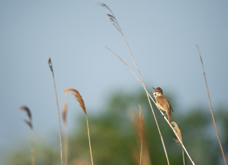 great reed warbler sitting on a haulm of reed and chirping full-throated Banco de Imagens