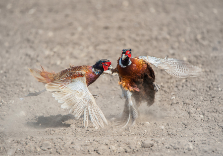 fight between two male angry pheasants