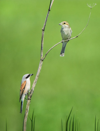 couple of red-backed shrikes sitting on a withered wild carrot on a soft green background Reklamní fotografie