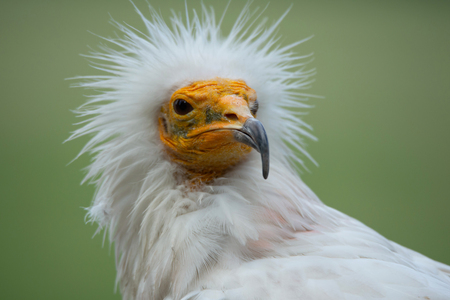 portrait of an Egyptian vulture with funny hairdress on a soft green background