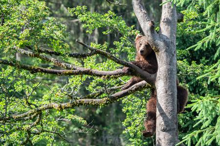 brown bear climbing up a tree Reklamní fotografie