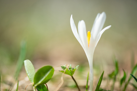 closeup of a white crocus in the meadow on a soft green background