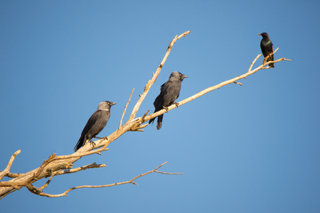 two jackdaws and a starling sitting together on a branch against the cloudless blue sky 版權商用圖片