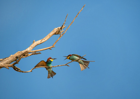 two male bee eaters on the branch fighting for a place on the tree - Burgenland Austria Stock Photo
