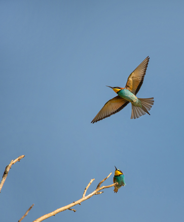 bee eater sitting on a branch looking after a bee eater flying in the blue sky - Burgenland Austria