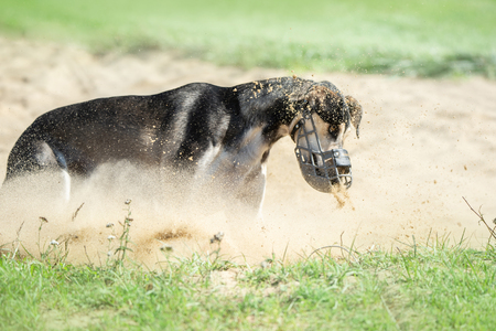 greyhound dog with muzzle in the finish