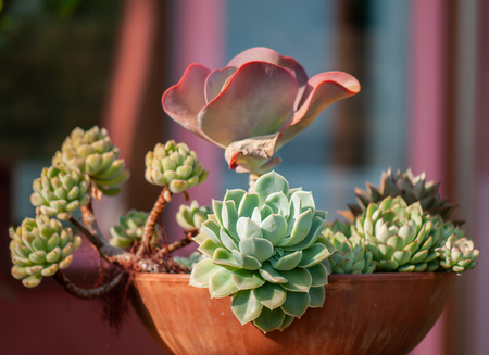 different succulent plants in a pot made of clay used as decoration in a winter garden