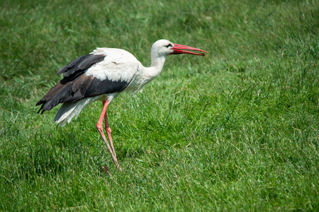 white stork in the meadow with a bug in the bill - national park Neusiedlersee Seewinkel Burgenland Austria