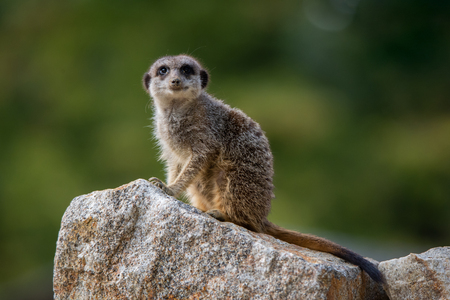 meerkat sitting on a stone looking at camera on a soft green background
