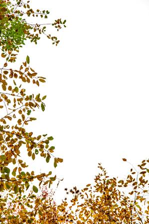 Marco de follaje otoñal aislado sobre un fondo blanco - vista de abajo hacia arriba de haya común