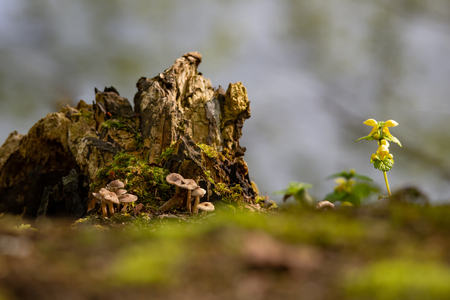 mushrooms, rotten tree trunk and yellow dead nettle in the forest
