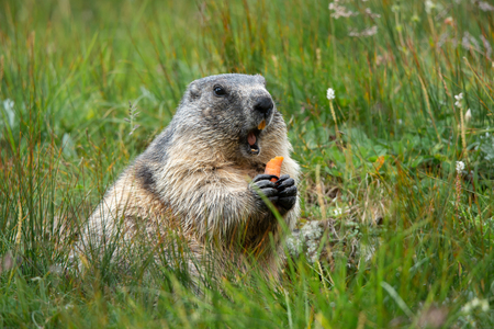 alpine marmot with a carrot in the claws making a warning cry - Großglockner Austria Stock Photo