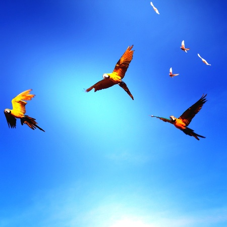 bright: Yellow macaws flying on a bright blue sky