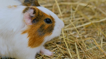 Guinea pig look at the camera in zoo near white wooden fence Stock Photo