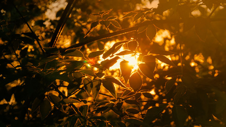 Nature background with silhouette of foliage. Sunset light, sun lens flares, golden hour
