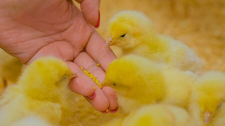 Woman feeding baby chicks on chicken farm Stockfoto