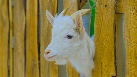 Close up shot - goat looks around from wooden fence on a farm