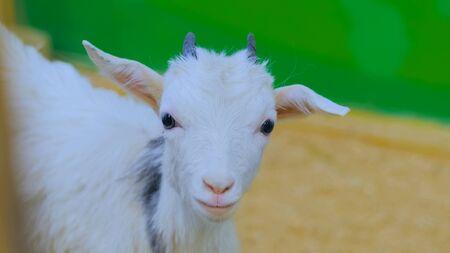 Close up shot - goat looks around on farm 스톡 콘텐츠