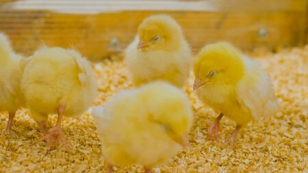Group of baby chicks on chicken farm