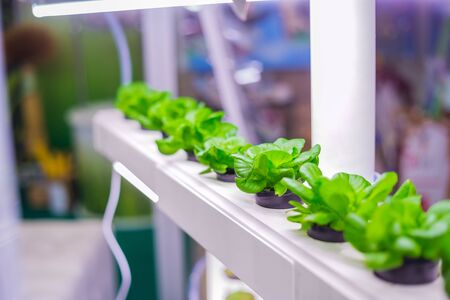Green plants growing in pots at laboratory. Hydroponic gardening system, ecology and science concept